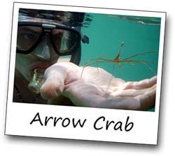ArrowCrab